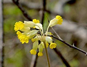 schlüsselblume