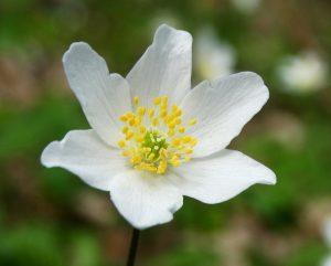 wood-anemone-6188128_1920